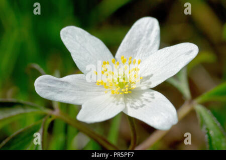 Wood Anemone (anemone nemorosa), close up of a solitary flower. - Stock Image