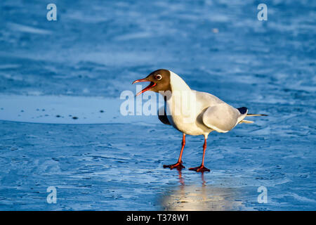 Black-headed Gull is announcing spring time officially started (though the pond is still frozen). - Stock Image