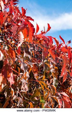 Leaves of Virginia creeper — Parthenocissus quinquefolia — in autumn - Stock Image