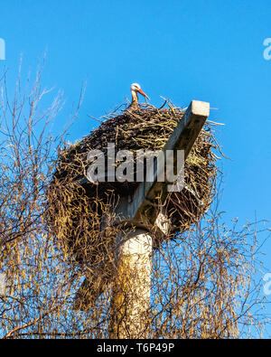 Stork,Ciconia ciconia, sitting in nest on pole in Kleinfredenwalde, Brandenburg,Germany - Stock Image