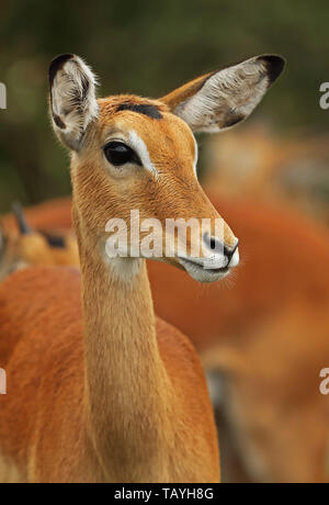 Common Impala (Aepyceros melampus) close up of head of female  Lake Mburo National Park, Uganda               November - Stock Image