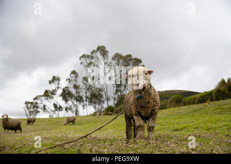 Sheep tied up with rope in Ecuador - Stock Image