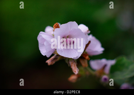 Marsh Mallow flower blossom (Althaea officinalis) - Stock Image