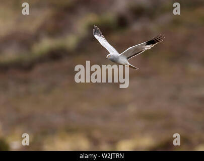 Male Hen Harrier (Circus cyaneus) hunting over moorland, North Uist, Outer Hebrides, Scotland - Stock Image