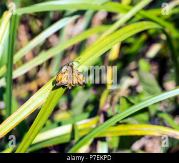 Large Skipper butterfly (Ochlodes venatus) on reeds in Combe Haven valley, East Sussex, England - Stock Image