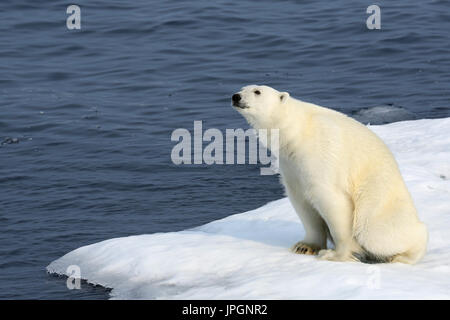 A male Polar Bear (Ursus maritimus) on the ice floe of Baffin Bay, Arctic Circle, sniffing - Stock Image
