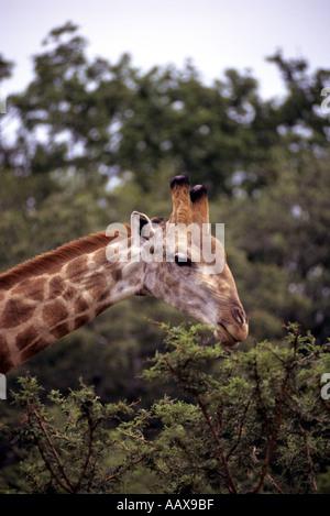 Giraffe eating leaves in South Africa - Stock Image