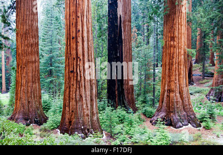 Giant Sequoias in Mariposa Grove, Yosemite National Park, California, USA - Stock Image