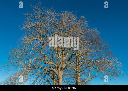 Silhouettes of two bare Ash trees and one bare Sycamore tree against a deep blue clear sky in strong winter sunshine - Stock Image