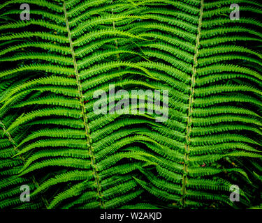 Radiant green leaves of a fern, close-up -up;  - texture or background copyspace - Stock Image