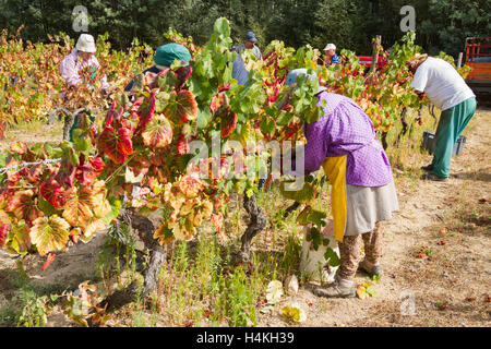 The grape harvest - workers picking the vines - Casa Americo, Portugal - Stock Image