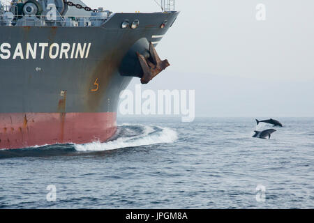 Common Bottlenose Dolphin (Tursiops truncates) bowriding in the Strait of Gibraltar - Stock Image