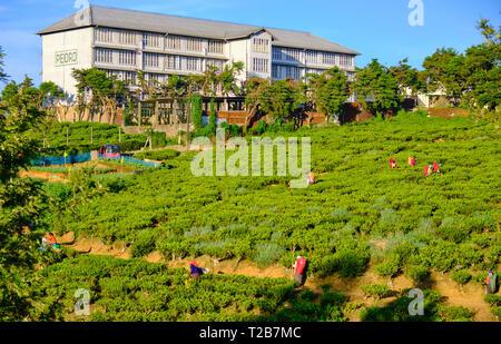 Pedro tea plantation with fields of tea plants and pickers on sunny day.  Nuwara Eliya, Sri Lanka - Stock Image
