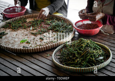 farm workers sorting and selecting fresh pepper peppercorns on plantation in kampot cambodia - Stock Image