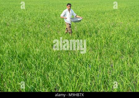 Farmer during peak season before harvesting sprinkling fertilizer in field (India) - Stock Image