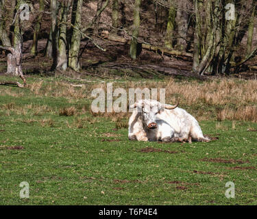 White Park Cattle - Oldest domestic breed of  cattle at the  Schorfheide Game Reserve, in Brandenburg,Germany. The breed was domesticated by the Celts - Stock Image