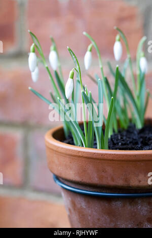 Drainpipe pot holders. Galanthus nivalis flowers. - Stock Image