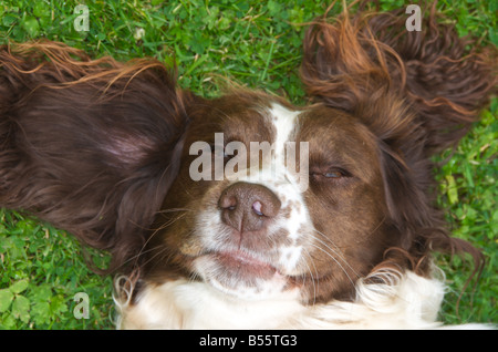 Springer spaniels are fun loving active dogs - Stock Image