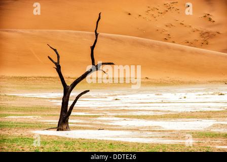 Dead Camelthorn Tree, Acacia erioloba, in the salt pan of Dead Vlei, Namib-Naukluft National Park, Sossusvlei, Namibia, Africa - Stock Image