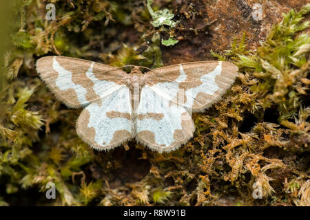 Clouded Border moth (Lomaspilis marginata) resting on tree trunk with wings open. Tipperary, Ireland - Stock Image