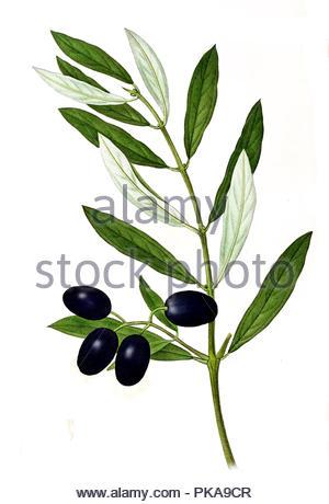 olive olive tree olea europaea real tree - Stock Image