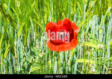 Red flower of Papaver rhoeas,Red Poppy, at country road side, Prague, Czech Republic, June 13, 2019. (CTK Photo/Libor Sojka) - Stock Image