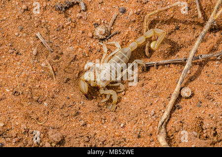 A desert scorpion from South Australia - Stock Image