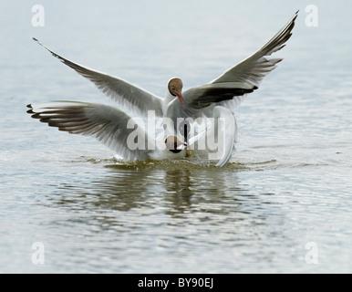Sandwich Tern and Black-headed Gulls - Stock Image