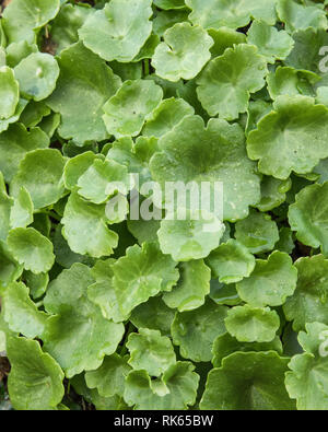 Early leaves of Navelwort / Umbilicus rupestris. An edible wild foraged food - either eaten raw as a salad leaf, or cooked. - Stock Image