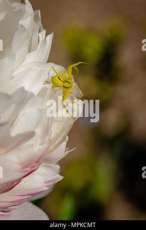 Crab spider on a white and pink Chrysanthemum in bloom, Essex - Stock Image