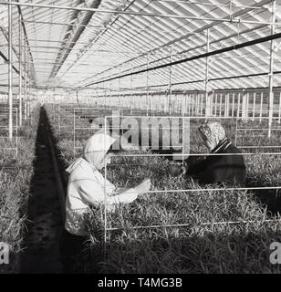 1950s, historical, female workers with headscarfs in a garden nursery checking plants in a large greenhouse, England, UK. - Stock Image