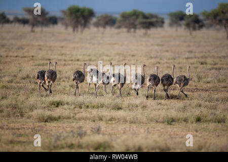 A herd of ten young Masai ostriches (Struthio camelus massaicus) on the open plains of Ndutu, Tanzania in East Africa - Stock Image