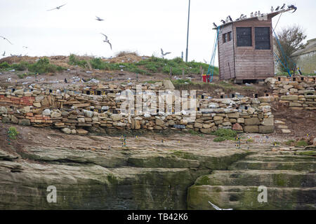 Coquet Island of Amble on the Northumberland coast, is an RSPB bird reserve and home to around 95% of all the breeding Roseate Terns in the British Is - Stock Image