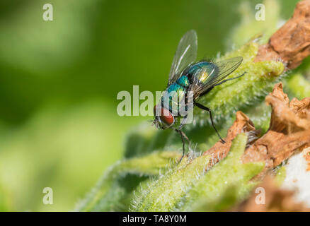 Closeup of a Common Green Bottle Fly (Lucilia sericata, Greenbottle fly) on a leaf or plant in Spring (May), West Sussex, UK. Greenbottle fly. - Stock Image