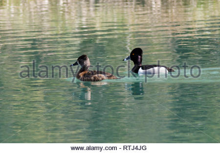 Ring-necked Duck, Aythya collaris, male and female swimming on pond in New Mexico USA - Stock Image