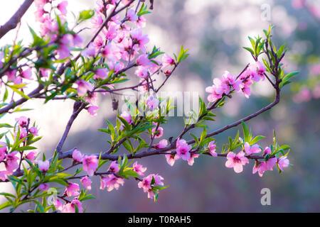 Close of cherry blossom - Stock Image