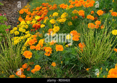 Colourful flower border with a display of French Marigolds,  Marigold 'Durango Improved' in assorted colours and Zebra ornamental grass - Stock Image