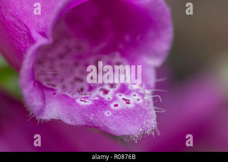 Close-up Foxglove / Digitalis purpurea flowers in sunshine. Formerly used in herbal remedies, home cures, and traditional medicine. Digitalin source. - Stock Image