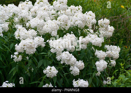 White Perennial  Phlox Flower Heads Flowers - Stock Image