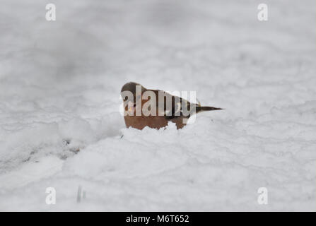 Common chaffinch (Fringilla coelebs) in snow - Stock Image