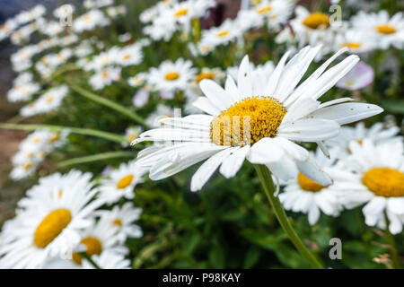 Yellow and White Oxeye Daisy flowers. - Stock Image
