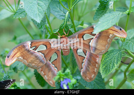 Atlas Moth (Attacus atlas) - Stock Image
