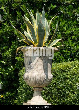 Agave Americana Variegata Century Plant in large old ornate marble garden urn planter, Derbyshire, England, UK - Stock Image