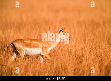 Indian Blackbuck, (Antilope cervicapra), Blackbuck National Park, Gujarat, India - Stock Image