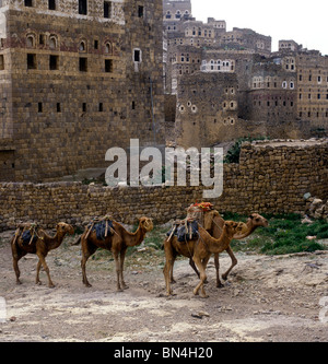 Camel train Hajjara Yemen - Stock Image