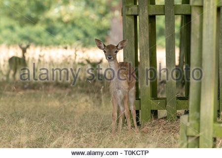 Fallow Deer (Dama dama), taken in UK - Stock Image