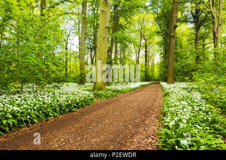 Forest, Bears Garlic, Wildflower, Trail, Spring, Leipzig, Germany - Stock Image
