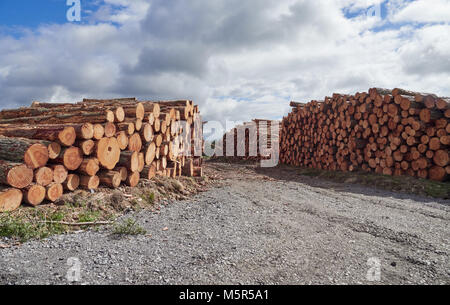 Piles of logs, sustainable wood from logging, deforestation, wood management in County Durham, England, UK. - Stock Image