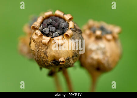Red Campion (silene dioica), close up of a group of seedpods with their seeds still present. - Stock Image