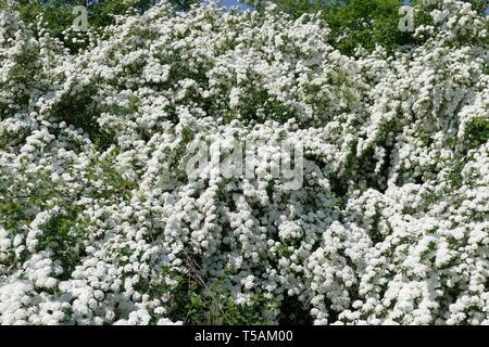 Flowering decorative shrubs. Beautiful white colors. Spring. - Stock Image